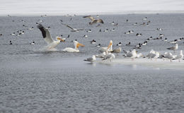 North American Pelicans Stock Photo