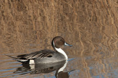 North American Pintail duck Stock Photography