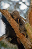 North American Porcupine Royalty Free Stock Images