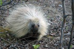 North American Porcupine. Porcupine sits near a clearing Stock Images