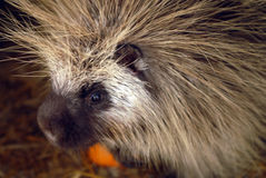 North American porcupine Royalty Free Stock Image