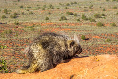 North American Porcupine. Adult North American Porcupine Walking Along Rocky Ledge Stock Photos