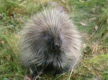 North American porcupine, Canadian Rockies Stock Photo