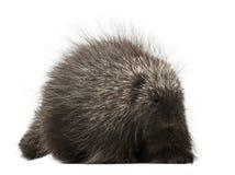North American Porcupine, Erethizon dorsatum Stock Image