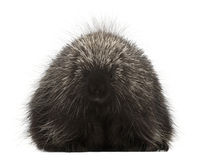 North American Porcupine, Erethizon dorsatum Royalty Free Stock Photography