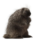 North American Porcupine, Erethizon dorsatum Stock Images