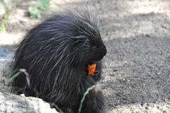 North American Porcupine Stock Images
