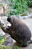 North American Porcupine Stock Image