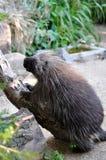 North American Porcupine Stock Image