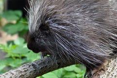 North American Porcupine. (Erethizon dorsatum royalty free stock photography