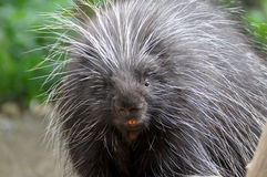 North American Porcupine Royalty Free Stock Photos