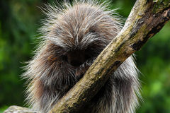 North american porcupine Royalty Free Stock Photography