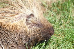 North American porcupine portrait Stock Image