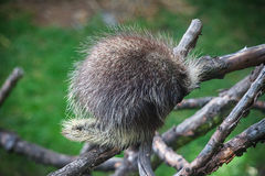 North American Porcupine sleeping on the tree Stock Image