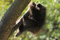 North american porcupine Stock Photo
