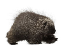 North American Porcupine walking Royalty Free Stock Photos