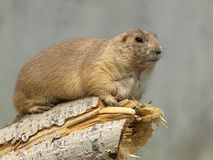 North American Prairie Dog on a branch. A North American Prairie Dog resting on a broken tree branch royalty free stock images