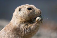 North American Prairie Dog eating grass Royalty Free Stock Photography