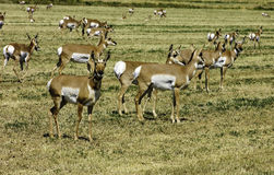 North American Pronghorn Royalty Free Stock Photo