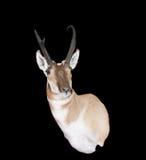 North-american Pronghorn Fotos de Stock Royalty Free