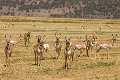 North American Pronghorn royalty free stock photography