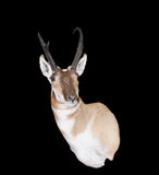 North American Pronghorn Royalty Free Stock Photos