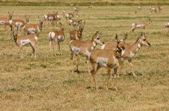North American Pronghorn Stock Photo