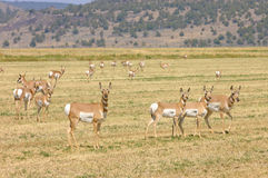 North American Pronghorn Stock Image