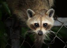 North American Raccoon. Raccoon (Procyon lotor) on a backyard fence Stock Image
