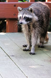 North American Raccoon Royalty Free Stock Photography