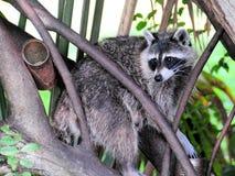 North American raccoon Stock Photo