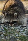 North American raccoon. Stock Images