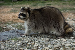 North American raccoon. Stock Image