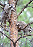 North american raccoons tree,yellowstone nat park royalty free stock photo