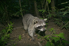 North American racoon, Procyon lotor Stock Images