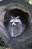 North American racoon, Procyon lotor Stock Photography