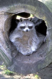 North American racoon, Procyon lotor Stock Photo