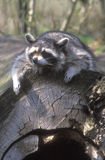 North American racoon, Procyon lotor Royalty Free Stock Photo