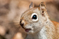 North American red Squirrel Royalty Free Stock Photo