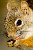 North American Red Squirrel Royalty Free Stock Images