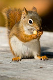 North American red Squirrel Stock Photography