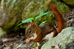 North American Red Squirrel Royalty Free Stock Photos
