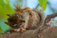 North American red Squirrel Royalty Free Stock Photography