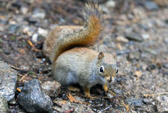 North American red squirrel. At Mount Washington, Coors County, New Hampshire Stock Photo
