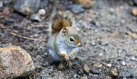 North American red squirrel. At Mount Washington, Coors County, New Hampshire Royalty Free Stock Images