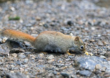North American red squirrel. At Mount Washington, Coors County, New Hampshire Stock Photos