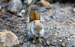 North American red squirrel. At Mount Washington, Coors County, New Hampshire Royalty Free Stock Photo