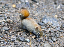 North American red squirrel. At Mount Washington, Coors County, New Hampshire Royalty Free Stock Photos