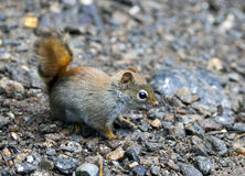 North American red squirrel. At Mount Washington, Coors County, New Hampshire Stock Image