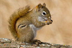 North American Red Squirrel Stock Photos